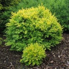 'King Midas' Buxus sempervirens