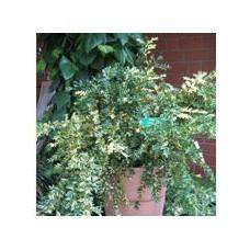 'Aurea Pendula' Buxus sempervirens