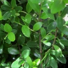 'Dark Green'® Ilex crenata