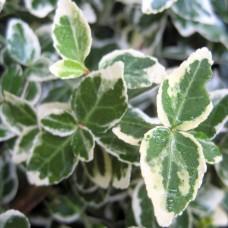fortunei' Emerald Gaiety' Euonymus