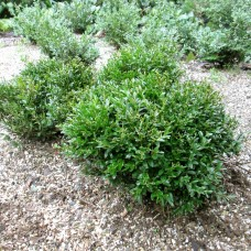 'Justin Brouwers' Buxus microphylla