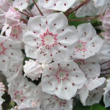 'Zebulon' Kalmia latifolia