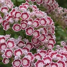 'Minuet' Kalmia latifolia