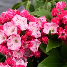 'Ostbo Red' Kalmia latifolia