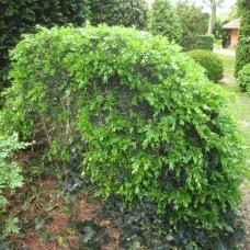 'Haller' Buxus sempervirens