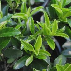 japonicus microphyllus Euonymus
